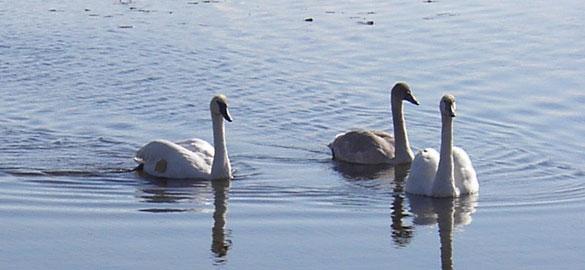 TrumpeterSwans